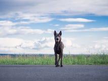 Grauer Sommer thailändischer ridgeback Hund im Wald Lizenzfreies Stockfoto
