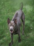 Grauer Sommer thailändischer ridgeback Hund im Wald Stockfotos