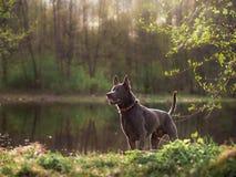 Grauer Sommer thailändischer ridgeback Hund im Wald Stockfoto