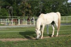 Grauer Stallion Stockbild