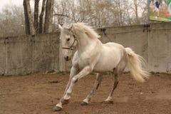 Grauer Stallion in Bewegung Lizenzfreie Stockfotos