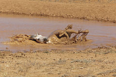 Grauer Stallion, der ein Schlammbad nimmt Lizenzfreie Stockfotos