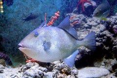 Grauer Triggerfish 3 Lizenzfreies Stockbild