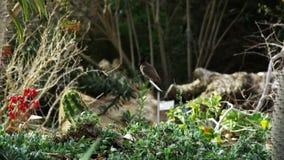 Grauer und schwarzer Vogel sitzt auf Grünpflanze stock footage