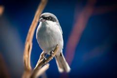 Grauer und weißer Vogel Lizenzfreies Stockbild