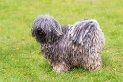 Grauer ungarischer puli Hund im Park stockbilder