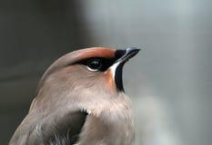 Grauer Vogel Stockfotografie