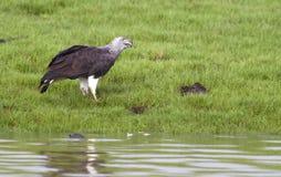 Grauer vorangegangener Fisch-Adler Stockbilder