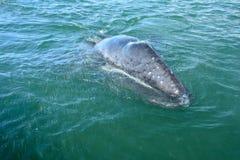 Grauer Wal stockbilder