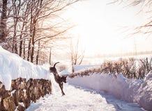 Grauer Winter thailändisches ridgeback im wilden Wald auf der Straße Lizenzfreie Stockbilder