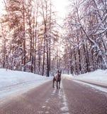 Grauer Winter thailändisches ridgeback im wilden Wald auf der Straße Stockbilder