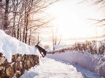 Grauer Winter thailändisches ridgeback im wilden Wald auf der Straße Stockfotografie
