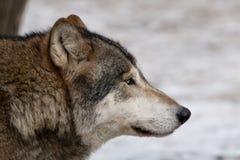 Grauer Wolf. Lizenzfreie Stockbilder