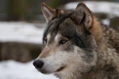 Grauer Wolf. Stockfoto