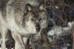Grauer Wolf Stockbild