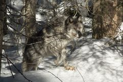 Grauer Wolf Lizenzfreies Stockfoto