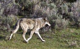 Grauer Wolf Lizenzfreies Stockbild