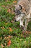 Grauer Wolf stockfotografie