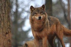 Grauer Wolf Lizenzfreie Stockbilder