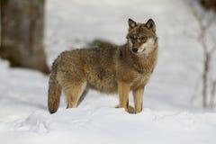 Grauer Wolf auf einem Ausblick Stockfoto