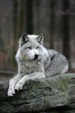 Grauer Wolf auf Felsen Lizenzfreies Stockfoto