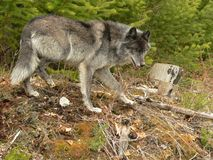 Grauer Wolf auf Prowl Lizenzfreie Stockbilder
