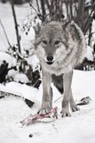 Grauer Wolf auf weißem Schnee mit einem Stück Fleisch das Tier ist vorsichtig stockbild