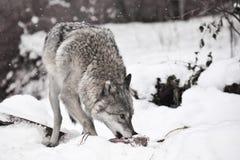 Grauer Wolf auf weißem Schnee mit einem Stück Fleisch das Tier ist vorsichtig lizenzfreies stockbild