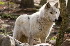 Grauer Wolf backlit Stockfotos