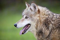 Grauer Wolf Canis Lupis Stockbild