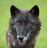 Grauer Wolf Canis Lupis Lizenzfreie Stockfotos
