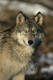 Grauer Wolf, Canis Lupus Lizenzfreies Stockfoto