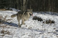 Grauer Wolf, Canis Lupus Stockfotografie