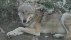 Grauer Wolf Canis Lupus auf dem Zoo stock video footage