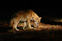 Grauer Wolf, Canis Lupus, im dunklen Waldwolf versteckt in der Szene der Waldwild lebenden tiere von der Natur Schönes Licht mit  lizenzfreies stockfoto