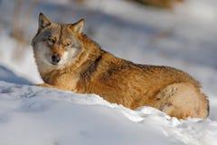 Grauer Wolf, Canis Lupus, liegend im Weiß während des Winters Stockfotos
