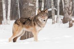 Grauer Wolf (Canis Lupus) steht vor Baum Lizenzfreie Stockfotos
