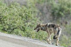 Grauer Wolf Denali Stockfotografie