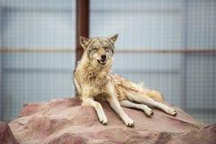 Grauer Wolf, der auf dem Felsen liegt stockfotografie