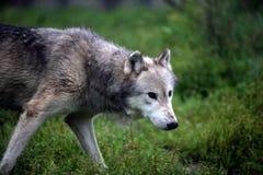 Grauer Wolf, der in einen Gewann geht Lizenzfreie Stockfotos