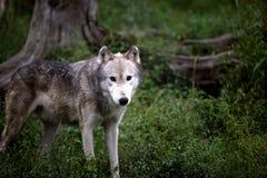 Grauer Wolf, der Sie auf einem Gebiet betrachtet Lizenzfreie Stockfotos