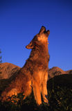 Grauer Wolf, der am Sonnenaufgang heult Stockbilder