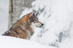 Grauer Wolf des Porträts im Schnee Lizenzfreies Stockfoto