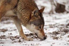 Grauer Wolf in einem Winter Lizenzfreie Stockbilder