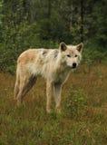 Grauer Wolf im Regen stockfoto