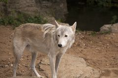Grauer Wolf im Safari-Park lizenzfreie stockfotos