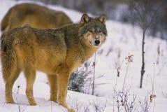 Grauer Wolf im Schnee lizenzfreie stockbilder