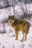 Grauer Wolf im Winter Lizenzfreies Stockfoto