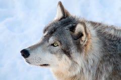 Grauer Wolf im Winter Stockbild