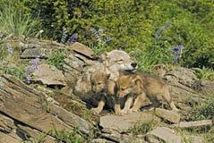 Grauer Wolf mit ihren Jungen Stockfotos
